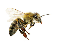 1605_Bienenweide_Biene